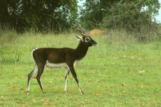 Black Buck At Van Vihar National Park Bhopal