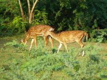 Deer In Indravati Park
