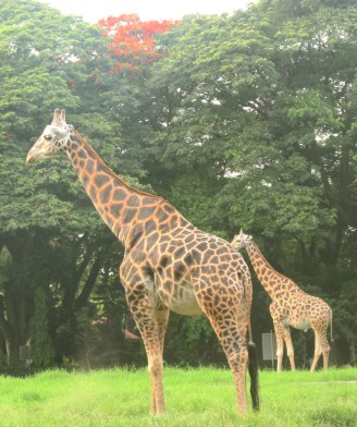 Giraffe Pair At Van Vihar National Park Bhopal