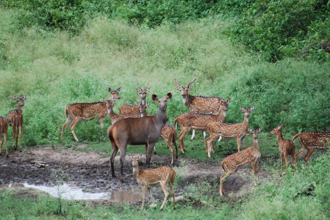 Sambar With Spotted Deer