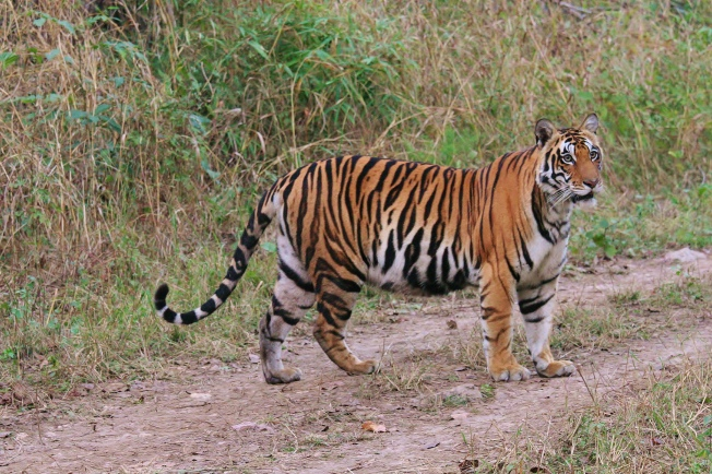 Tiger In Indravati Park