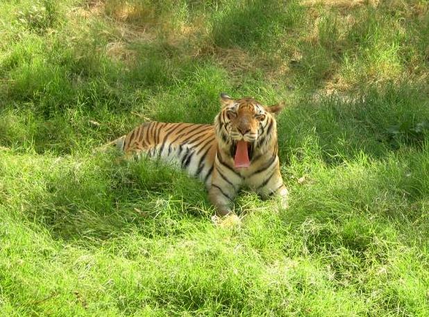 Tiger At Jaipur Zoo